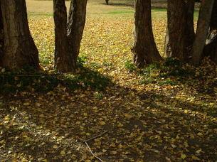 イチョウの落ち葉と影の写真素材 [FYI00329471]