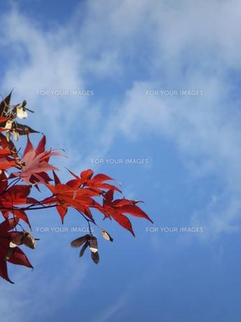 モミジ紅葉と青空の写真素材 [FYI00329480]