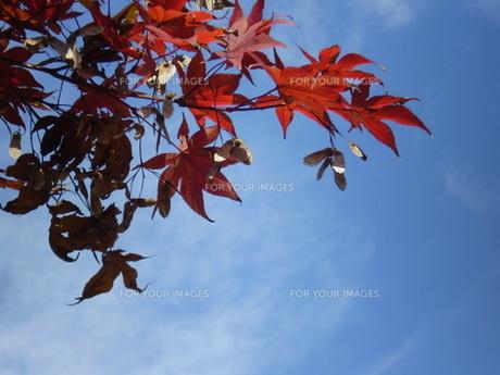 モミジ紅葉と青空の写真素材 [FYI00329481]