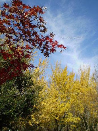 紅葉と黄葉の写真素材 [FYI00329483]