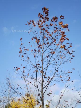 ユリノキの黄葉の写真素材 [FYI00329485]