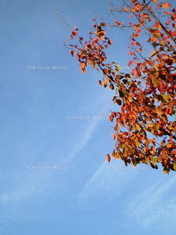 紅葉と青空の写真素材 [FYI00329487]
