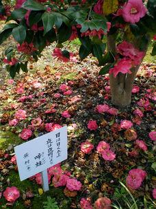 ツバキ、落花と俳句の写真素材 [FYI00329593]