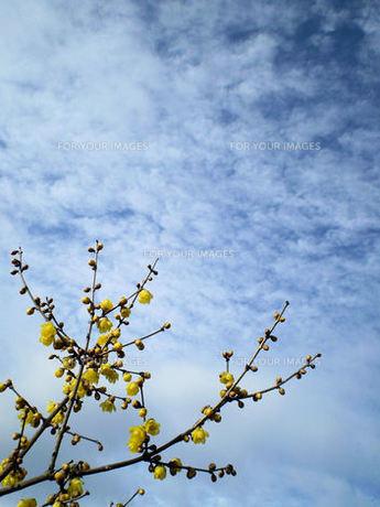 ロウバイの花と早春の空の素材 [FYI00329633]