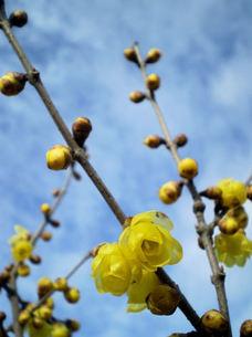 ロウバイの花の素材 [FYI00329638]