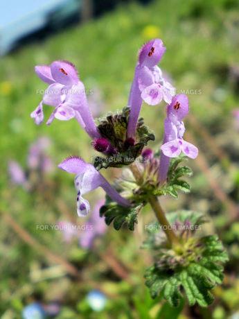 ホトケノザの花の素材 [FYI00329716]