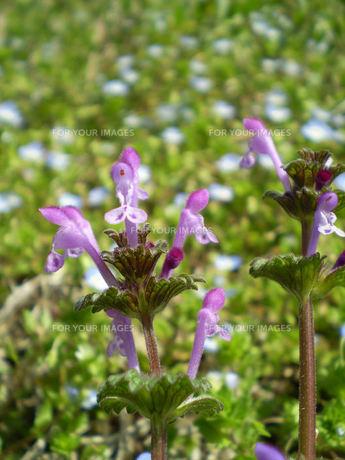 ホトケノザの花の素材 [FYI00329726]