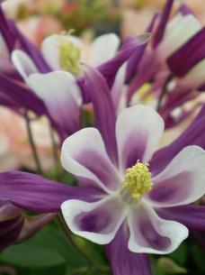 オダマキの花・アップの素材 [FYI00329740]
