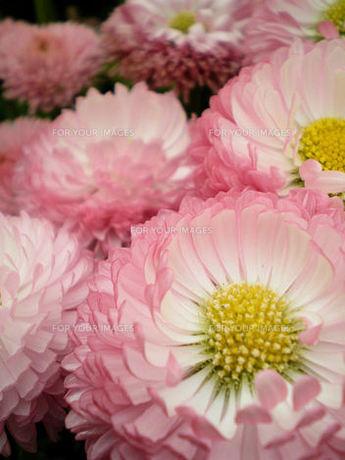 春の花(キク科未同定・ヒナギク?)の素材 [FYI00329795]