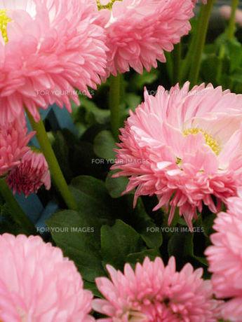 春の花(キク科未同定・ヒナギク?)の素材 [FYI00329799]