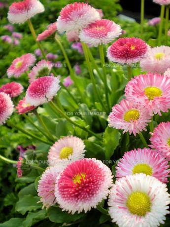 デージー・ヒナギクの花の素材 [FYI00329805]