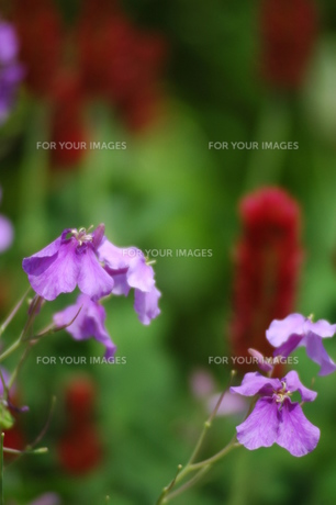 ハナダイコンの花の写真素材 [FYI00329910]
