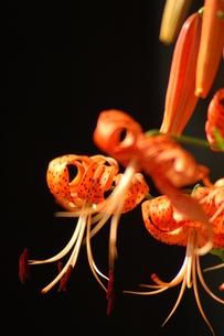 コオニユリの花、前ボケの写真素材 [FYI00330257]