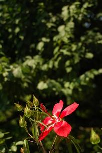 モミジアオイの花、一輪の写真素材 [FYI00330261]