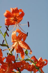 コオニユリの花の写真素材 [FYI00330265]