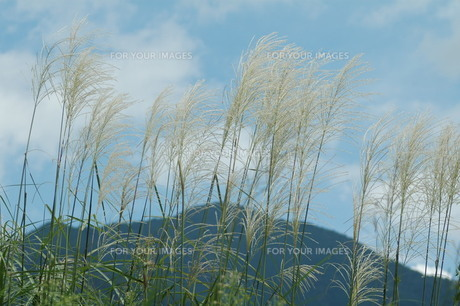 風になびく、ススキの穂の写真素材 [FYI00330314]
