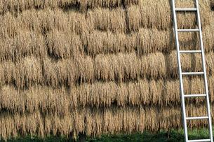 稲のはさがけ、六段の写真素材 [FYI00330325]
