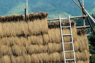 稲のはさがけの写真素材 [FYI00330338]