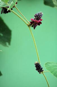 葛の花の写真素材 [FYI00330339]