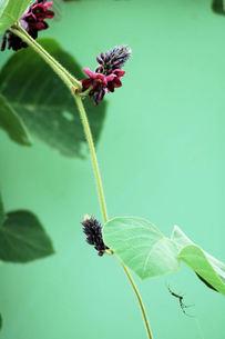 葛の花の写真素材 [FYI00330342]
