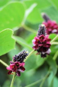 葛の花の写真素材 [FYI00330345]