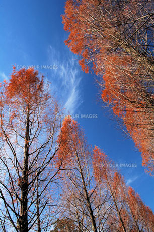 メタセコイアの並木、紅葉の写真素材 [FYI00330508]