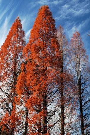 メタセコイアの紅葉、林立の写真素材 [FYI00330509]