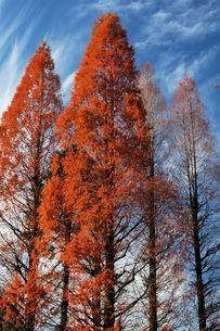 メタセコイアの紅葉、林立の素材 [FYI00330509]