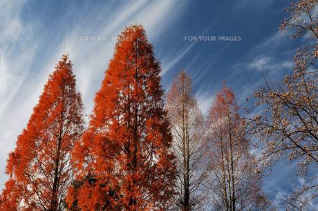 紅葉、メタセコイアの写真素材 [FYI00330513]