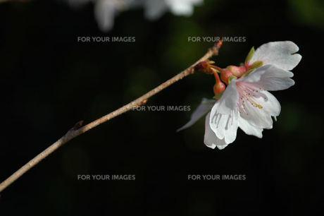 フユザクラの花、一輪の写真素材 [FYI00330520]