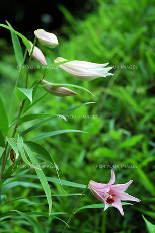 ササユリの開花とつぼみの素材 [FYI00330543]