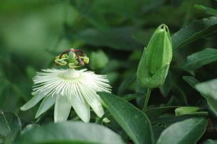 トケイソウ、花とつぼみ、白花の写真素材 [FYI00330546]