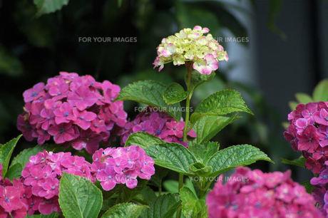 アジサイの花、開花したばかりの写真素材 [FYI00330557]