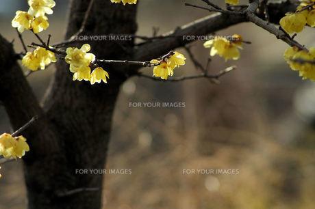 ロウバイの花・逆光の写真素材 [FYI00330634]
