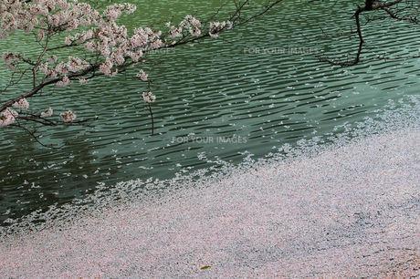 サクラの落花、池面にの素材 [FYI00330815]