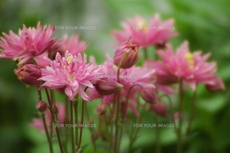 オダマキの花・八重の素材 [FYI00330894]