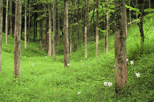 ササユリの咲く林の素材 [FYI00331042]