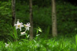 ササユリ・二輪咲・林間の写真素材 [FYI00331051]