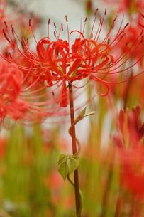 彼岸花に蔓が巻きついているの写真素材 [FYI00331285]
