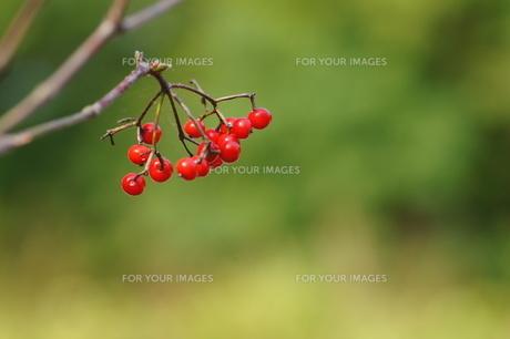 赤い木の実(未同定)の素材 [FYI00331295]