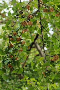 木の実 イチョウの素材 [FYI00331306]
