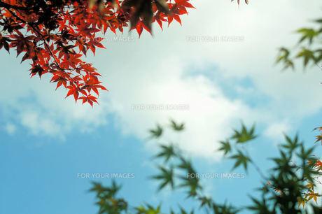 モミジの紅葉と青葉、空の素材 [FYI00331410]