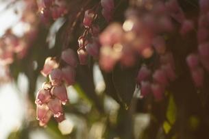 アセビの花の素材 [FYI00331504]