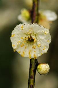 白梅一輪と雨雫の写真素材 [FYI00331550]