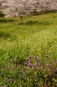 春の草むら、ホトケノザの素材 [FYI00331646]