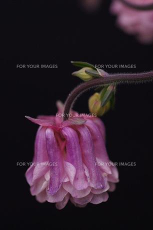 オダマキ(八重の変わり咲き)の素材 [FYI00331703]