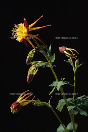オダマキの花(カナダオダマキ)の素材 [FYI00331708]
