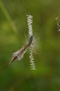 クモ、獲物を捕らえるの写真素材 [FYI00331780]