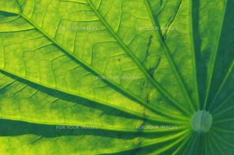 ハスの葉、透過光の素材 [FYI00331893]