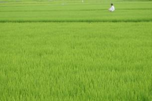 夏の田んぼ、伸びるイネ、農薬をまく人の写真素材 [FYI00331942]